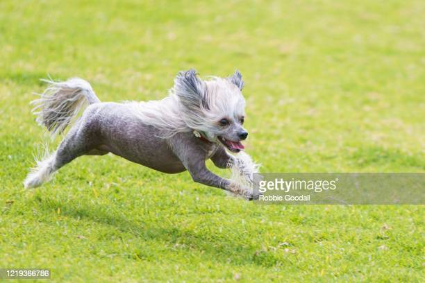 chinese crested dog having fun at the dog park - one animal stock pictures, royalty-free photos & images