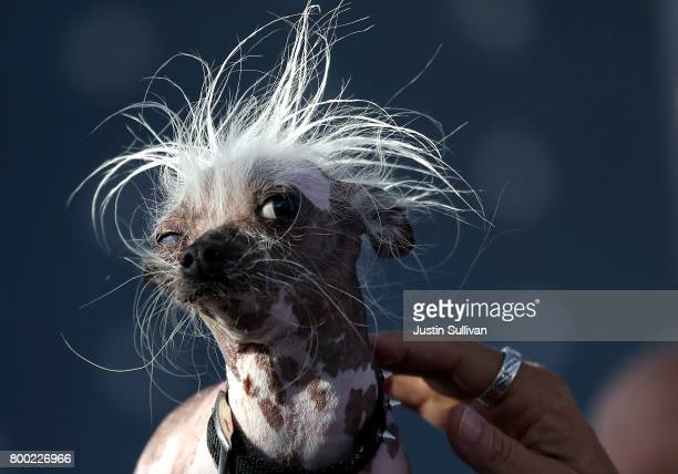Chinese Crested dog named Rascal looks on during the 2017 World's Ugliest Dog contest at the SonomaMarin Fair on June 23 2017 in Petaluma California...