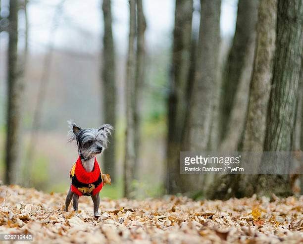 chinese crested dog on field against trees during winter - chinese crested dog stock photos and pictures