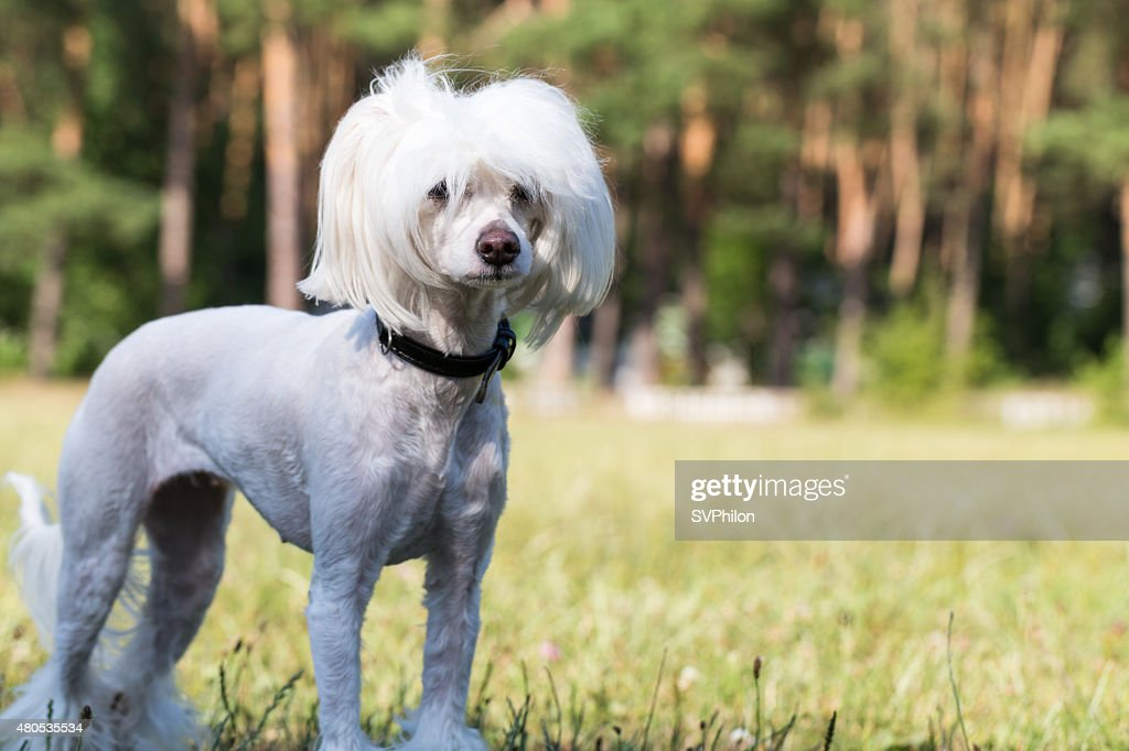 Chinese Crested Dog. : Stock Photo
