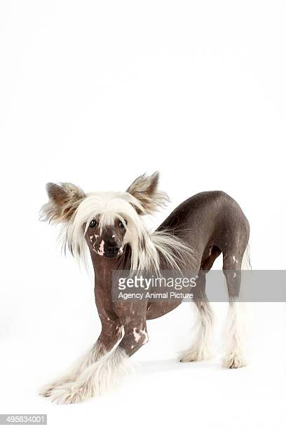 chinese crested dog - chinese crested dog stock photos and pictures