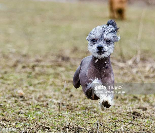 chinese crested dog running on field - chinese crested dog stock photos and pictures