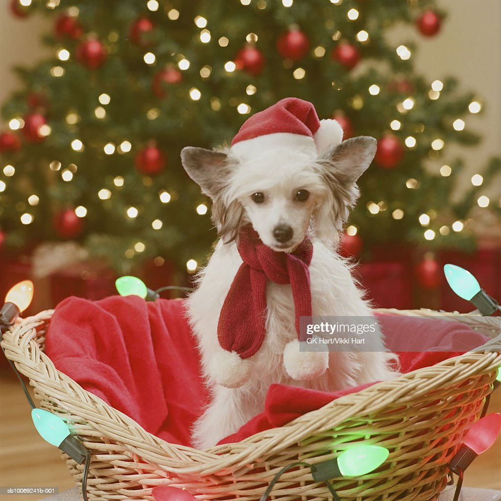 Chinese Crested Dog sitting in basket decorated with fairy lights, close-up : Stockfoto