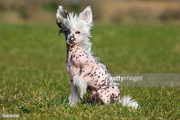Chinese crested dog sitting in garden