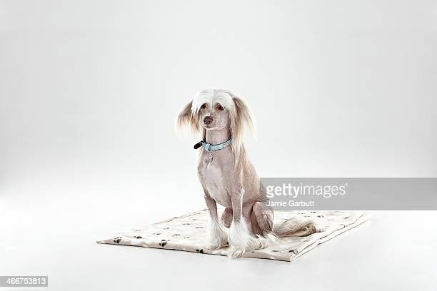 chinese crested dog sitting on a blanket - chinese crested dog stock photos and pictures