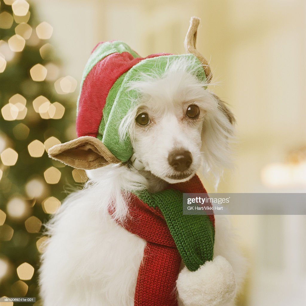 Chinese Crested dog wearing Elf Hat and scarf in front of Christmas tree, close-up : Stockfoto