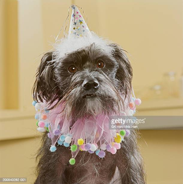 Chinese crested dog wearing party hat and ruffled collar
