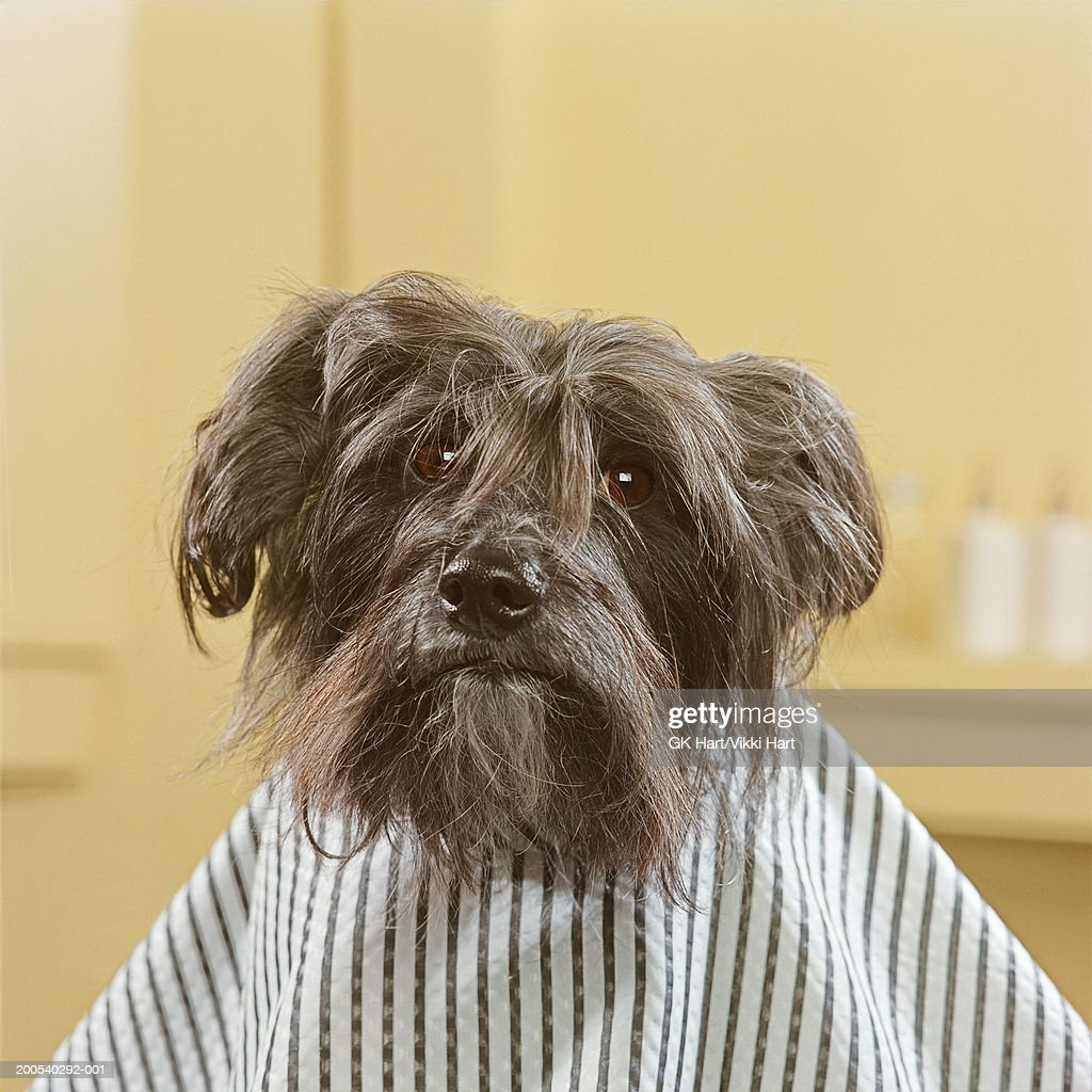 Chinese Crested Dog Wearing Smock For Haircut Stock Photo Getty Images