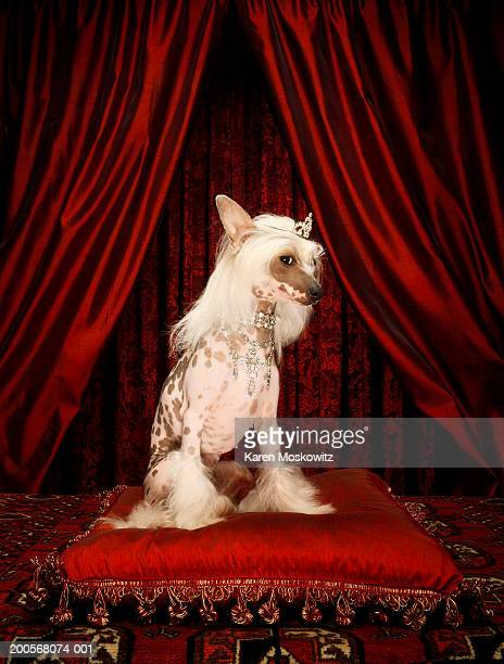 chinese crested dog wearing tiara sitting on red cushion - ugly dog stock photos and pictures