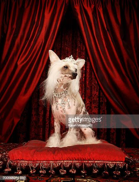 chinese crested dog wearing tiara sitting on red cushion - ugly dog stock pictures, royalty-free photos & images