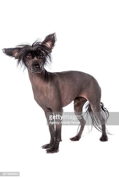 chinese crested dogs - chinese crested dog stock photos and pictures
