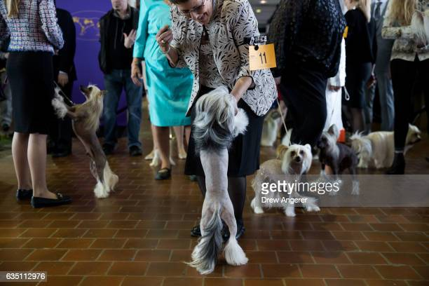 Chinese Crested dogs waits to take the floor during competition at the 141st Westminster Kennel Club Dog Show February 13 2017 in New York City There...