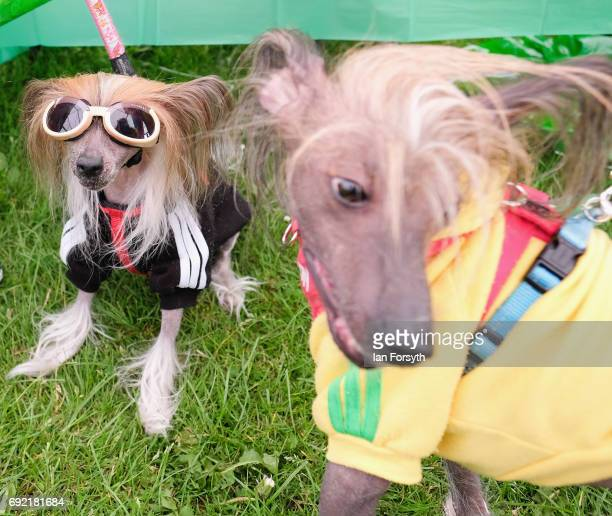 Chinese Crested Hairless dogs Rio and Kenya join thousands of other excited participants and their owners to take part in the Great North Dog Walk on...