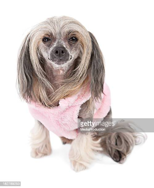 chinese crested - ugly dog stock photos and pictures
