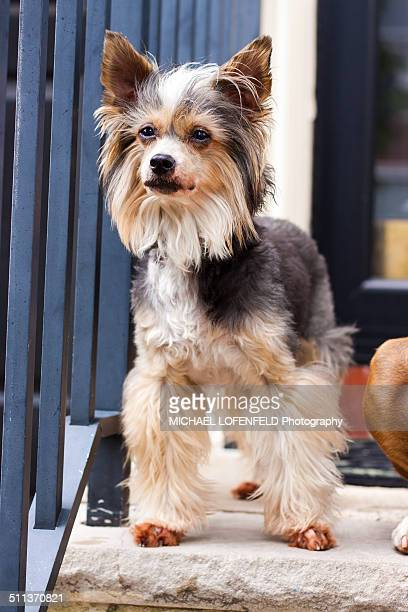 chinese crested powder puff standing outside - chinese crested dog stock photos and pictures