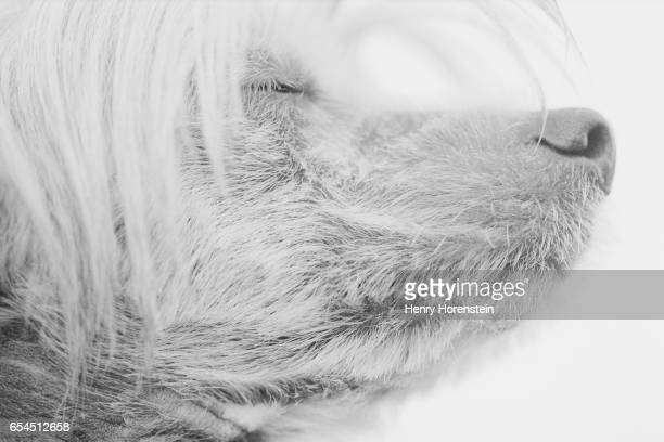 chinese crested with eyes closed - chinese crested dog stock photos and pictures