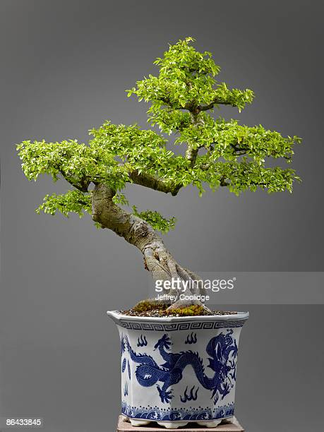 chinese elm bonsai - bonsai tree stock pictures, royalty-free photos & images