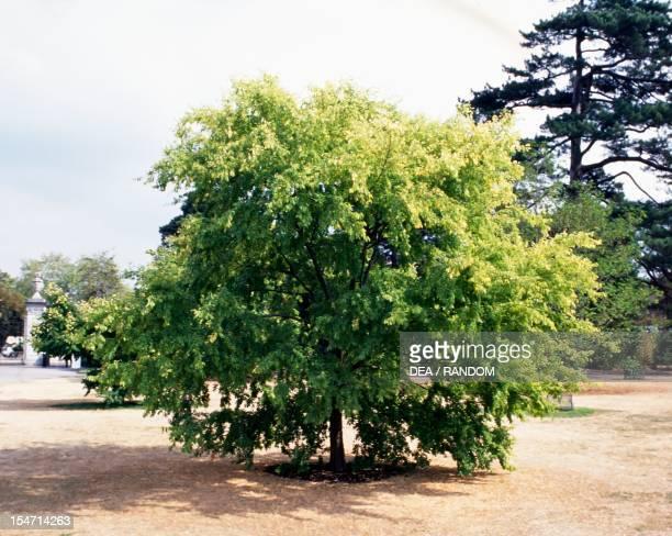 Chinese Elm Ulmaceae