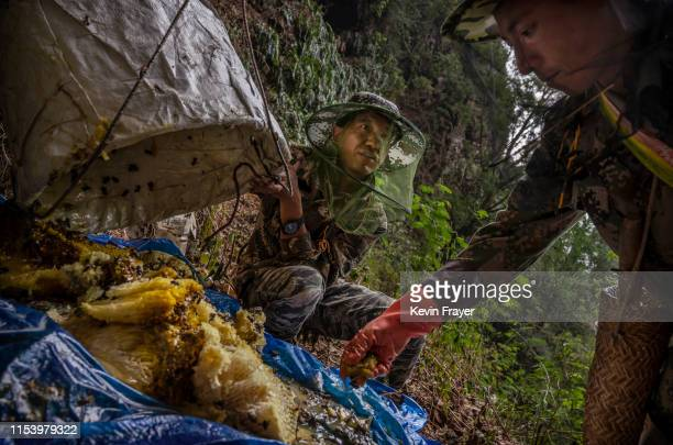 Chinese ethnic Lisu honey hunter Ma Yongde right and helper Dongwu collect wild cliff honey while gathering with others from hives in a gorge on May...