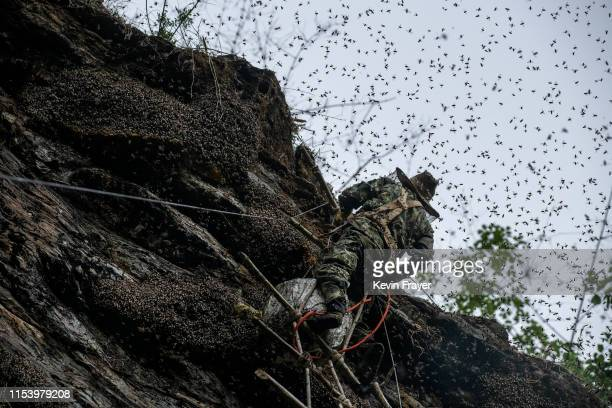 Chinese ethnic Lisu honey hunter Mi Qiaoyun is surrounded by bees as he stands on a makeshift ladder while gathering wild cliff honey from hives in a...