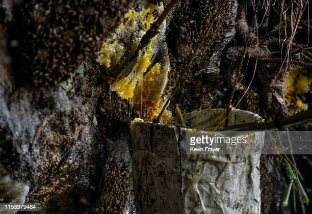 Chinese ethnic Lisu honey hunter Mi Qiaoyun not seen uses a bucket to collect honey after cutting the hive while gathering wild cliff honey in a...