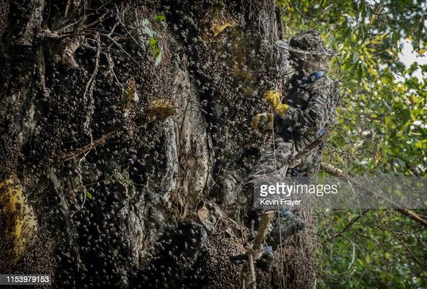 Chinese ethnic Lisu honey hunters Dong Haifa is swarmed by bees as he works on a makeshift rope ladder while gathering wild cliff honey from hives in...