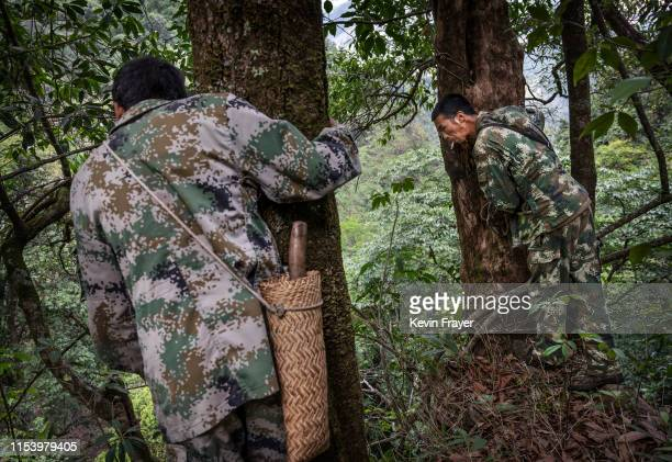 Chinese ethnic Lisu honey hunters Dong Haifa right and Ma Yongde hold onto trees as they look over a cliffside before gathering wild cliff honey from...