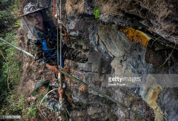 Chinese ethnic Lisu honey hunters Dong Haifa top and Ma Yongde hang on a makeshift ladder while gathering wild cliff honey from hives in a gorge on...