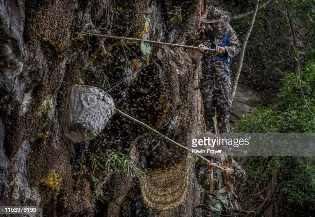 Chinese ethnic Lisu honey hunters Dong Haifa top and Mi Qiaoyun stand on a makeshift rope ladder as they are surrounded by bees as they work together...