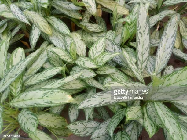 Chinese evergreens (Aglaonema cv. Queen)