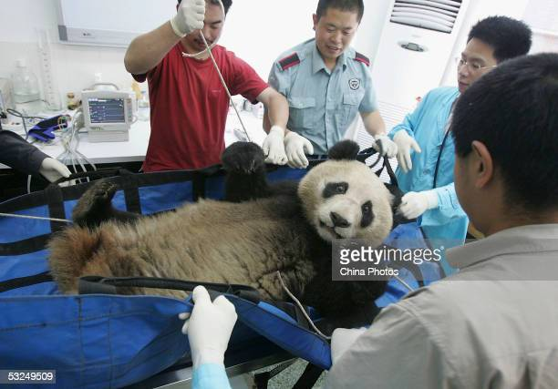 Chinese experts give a health check to a wild giant panda in the China Giant Panda Protection and Research Center on July 17 2005 in Wolong southwest...
