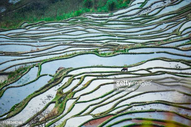 chinese famer working at terraced rice field using the buffalo plow the soil,china - yuanyang stock-fotos und bilder