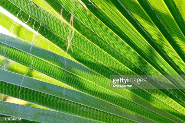 Chinese fan palm plant against the sunlight