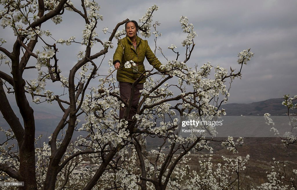 Humans Do The Work of Bees in Rural China : Nachrichtenfoto