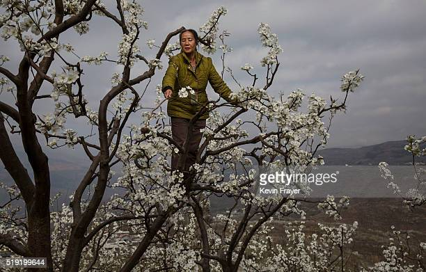Chinese farmer climbs during hand pollination of pear trees on March 25 2016 in Hanyuan County Sichuan province China Heavy pesticide use on fruit...