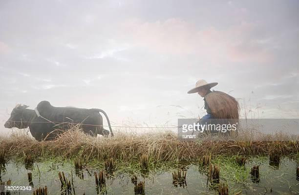 Agricultor Cultuvating campo de arroz chino
