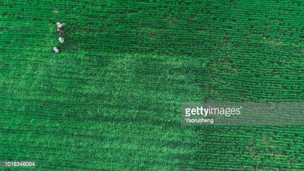 Chinese farmer fertilizel to young green rice field.Aerial view from flying drone,Anhui province,China