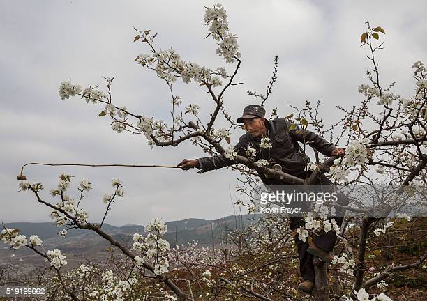 Chinese farmer He Guolin climbs in a tree during hand pollination on their pear trees on March 25 2016 in Hanyuan County Sichuan province China Heavy...