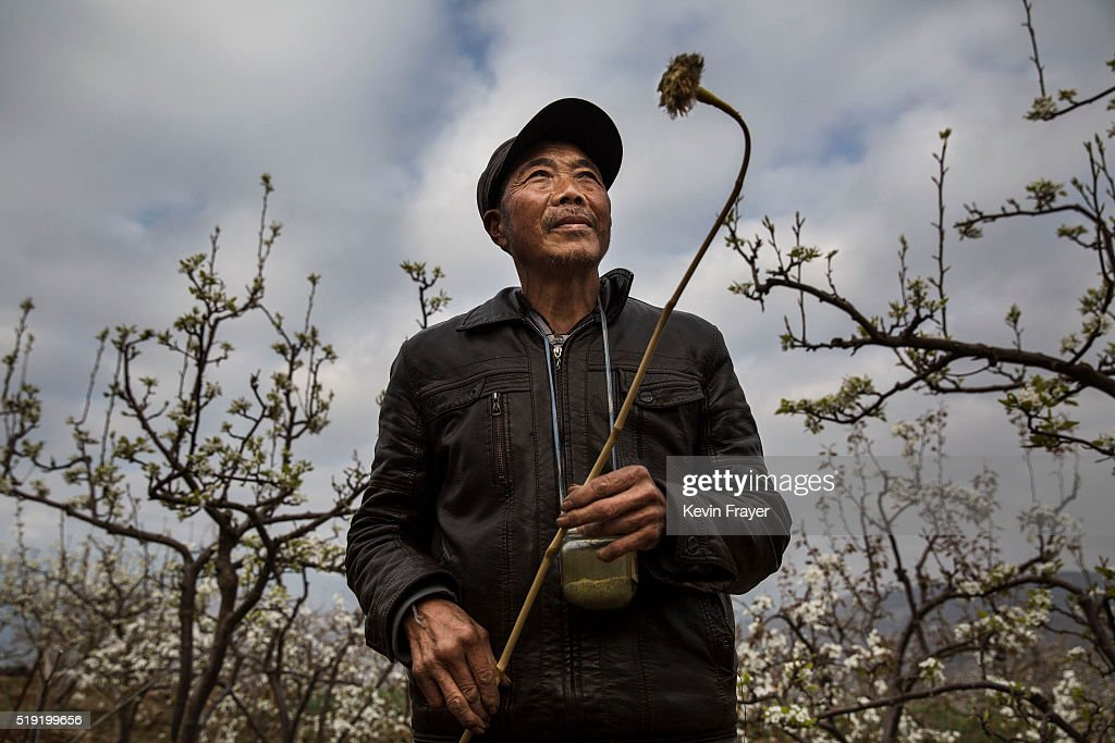 Humans Do The Work of Bees in Rural China : News Photo