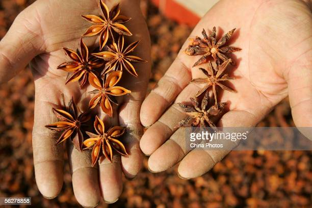 A Chinese farmer holds out qualified star anise seeds on his right hand to compare disqualifications on the other hand in a country yard at Tanbin...