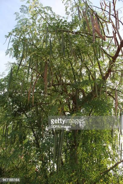 Chinese farmer Hu Yan's moringa tree farm The moringa farm located in the outskirts of Tlokweng village boasts of 3 meter long 10 000 trees planted...