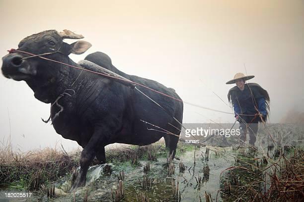 chinês agricultor - asian ox imagens e fotografias de stock