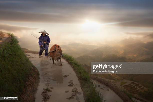 chinese farmer plowing a rice field - wild cattle stock photos and pictures