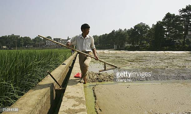 Chinese farmer prepares to plant hybrid rice seed at a planting field on June 20 2006 in Changsha city Hunan province of China Hybrid rice is a very...