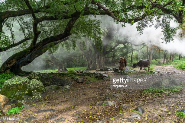 chinese farmer walking through the forest with his buffalo - banyan tree stock photos and pictures