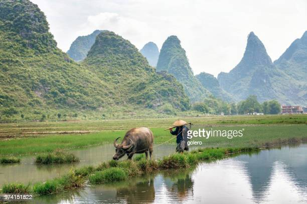 chinese farmer walking with water buffalo on rice field