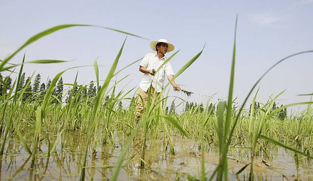 Chinese farmer works at a hybrid rice planting field on June 20, 2006 in Changsha city, Hunan province of China. Hybrid rice is a very important...