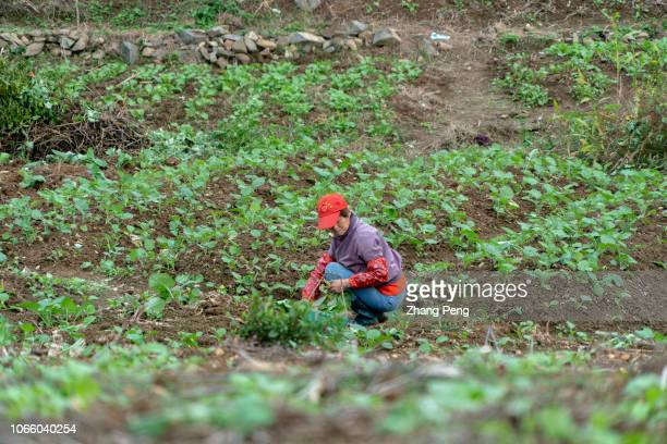 Chinese farmer works in farmland The aging labor population and lower mechanic investment in some rural areas are still the main problems China's...