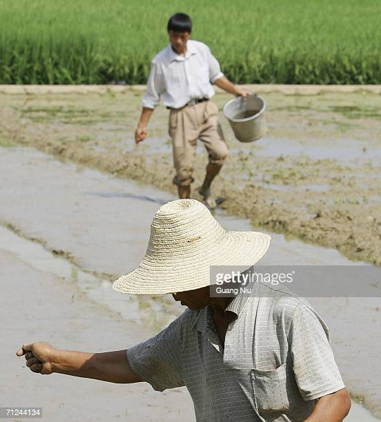 Chinese farmers plant hybrid rice seed at a planting field on June 20 2006 in Changsha city Hunan province of China Hybrid rice is a very important...