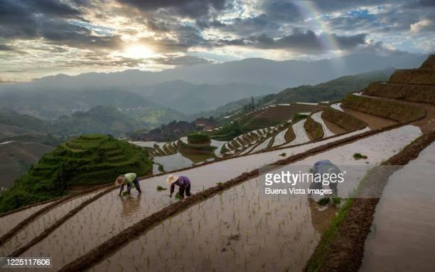 chinese farmers planting rice - luogo d'interesse internazionale foto e immagini stock